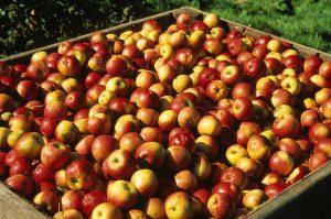 Как сделать домашнее яблочное вино