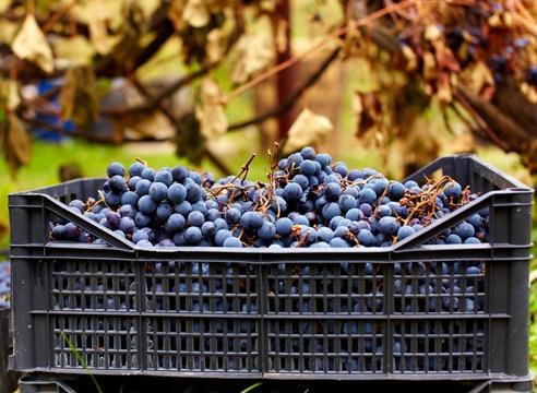 Как самому сделать вино из винограда