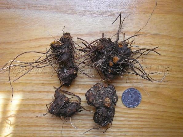 сухой корень калгана