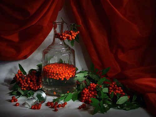 Настойки из красной и черноплодной рябины