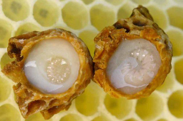 О применении настоек пчелиного подмора