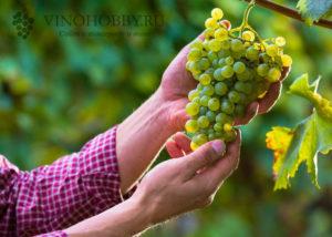 Лучшие из крупных сортов винограда